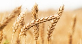wheat_feat